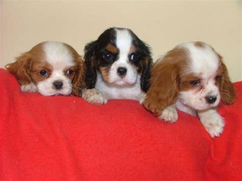 razze canine da appartamento razze di cani piccola taglia duylinh for