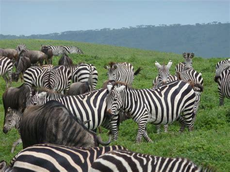 zebra pattern camouflage the gallery for gt tiger stripe pattern