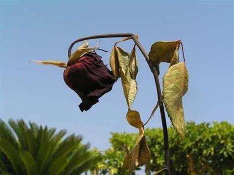 imagenes de flores marchitas so 241 ar con flores marchitas significado de los sue 241 os