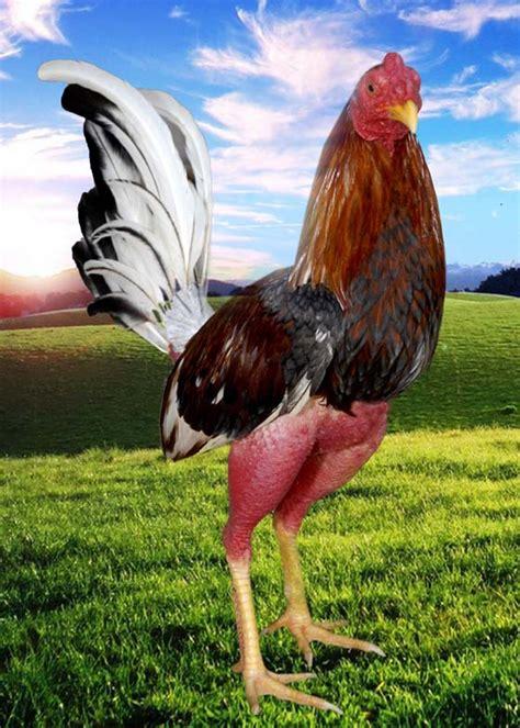 www imagenes de gallos finos de puerto rico gallos finos cubanos images