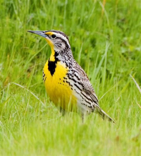 ode to a meadowlark writerscafe org the online writing