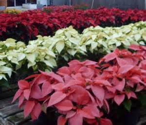 poinsettia colors poinsettia care tips for growing poinsettias