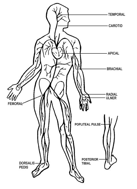 pulse sites | Nursing school studying, Rn school, Nursing
