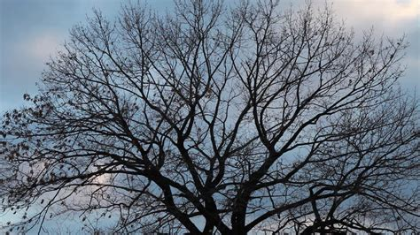 bare branch tree bare tree branches moving slightly clipvideo etc