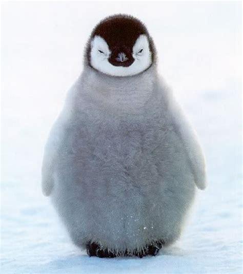 Top Pinhuin baby penguin wallpapers baby animals