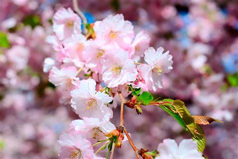 photos of nature flowers of japan photos