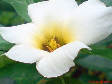 Pot 12 5 Gram Pp Bunga Putih bunga mekar pagi jeprat jepret hape