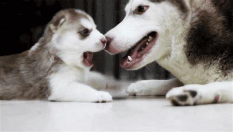gif puppy adorable husky animal bite animal gif puppy gif gif