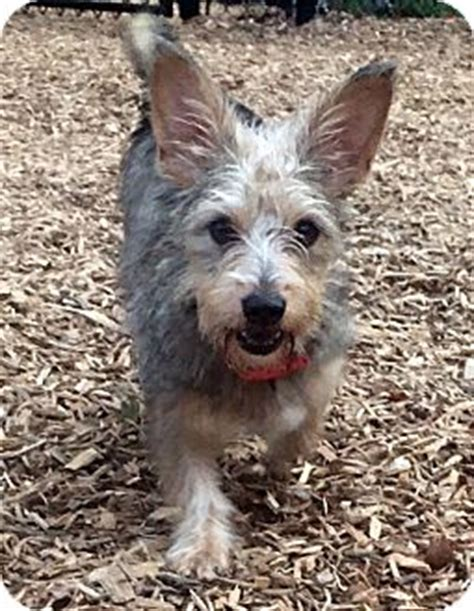 yorkie rescue massachusetts collene adopted sudbury ma cairn terrier yorkie terrier mix