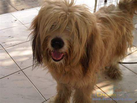 Rantai Anjing Murah dunia anjing jual anjing lainnya mix breed jual puppies dari indukan german sheepdog murah