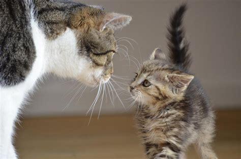 wann werden katzen rollig wann sind katzen ausgewachsen katzenkram