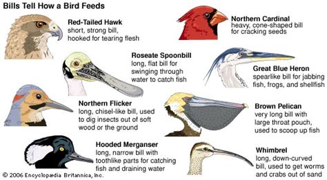 whimbrel bill structure and eating habits kids