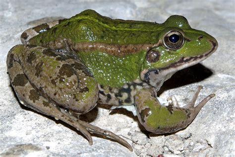 imagenes de ranitas verdes pelophylax perezi wikipedia la enciclopedia libre