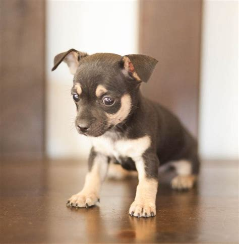 small rescue pa chihuahua rescue pa chihuahua dachshund mix puppies for sale adopted profile