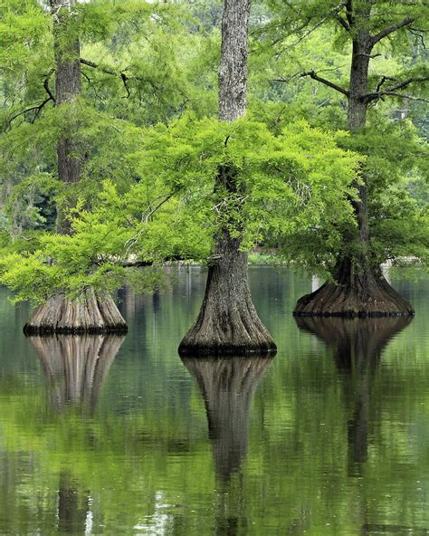 tree s trees are the oldest and largest living things on earth