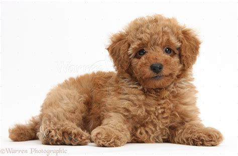pictures of poodle puppies 40 amazing poodle puppies pictures and fur