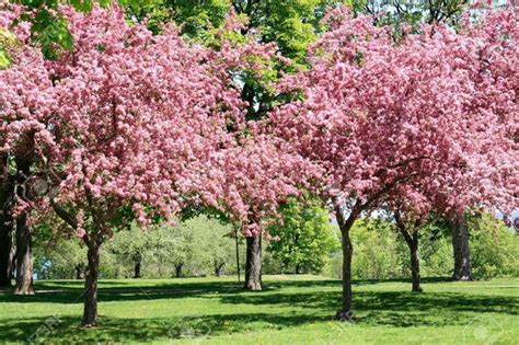 pianta da fiore melo da fiore piante da giardino melo giardino