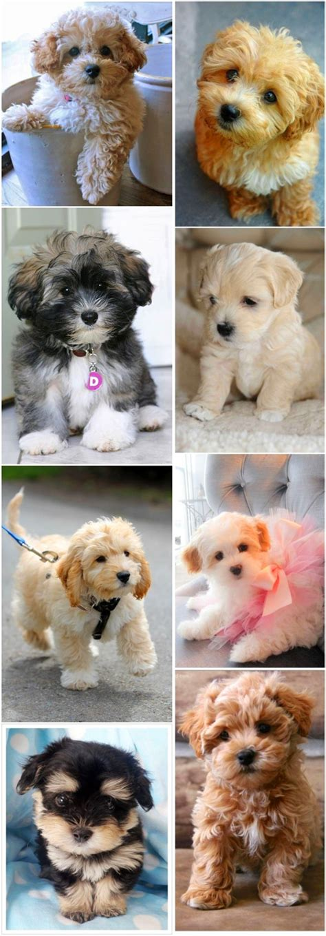 small breeds havanese top 15 cutest small breeds fallinpets