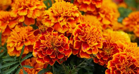 marigolds shade do marigolds repel mosquitoes planting marigold to keep