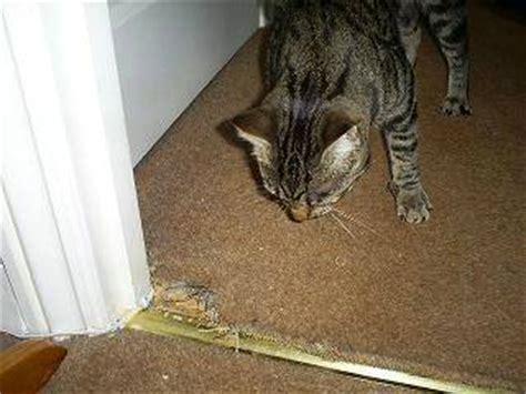 how to stop cat on rug stop cats scratching carpet carpet menzilperde net