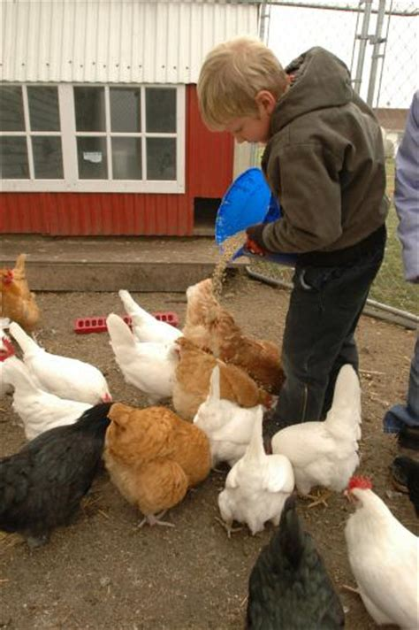 8 Tips On Caring For Chickens by 13 Tips For Feeding Your Flock Living The Country