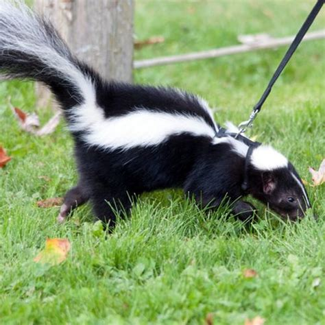 skunk smell in the house 78 best ideas about skunk smell in house on pinterest clean washer vinegar cleaning