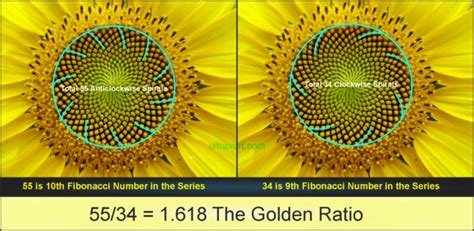 sunflower fibonacci sequence golden section fibonacci numbers in plants design of leaf petals
