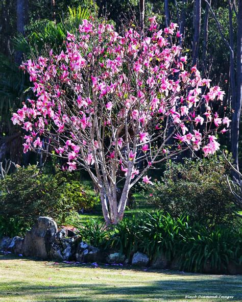 diy how to grow your own magnolia tree