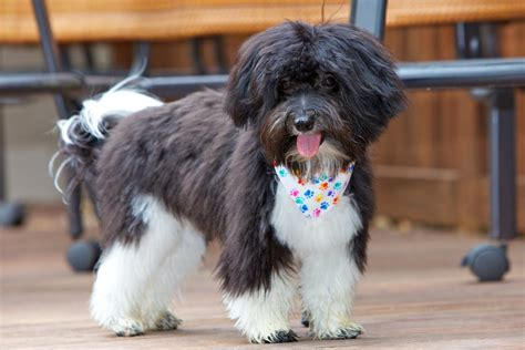 havanese haircuts  faces love   owned