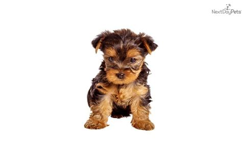 san antonio yorkie cavachon puppies for sale breeds picture