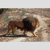 barbary lion su...