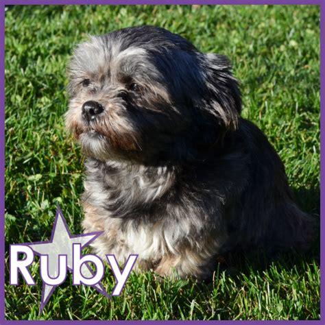 shih tzu poodle rescue ruby northstar shih tzu rescue