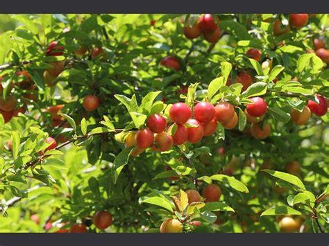 flowering plum tree fruit prunus cerasifera cherry plum rosaceae images