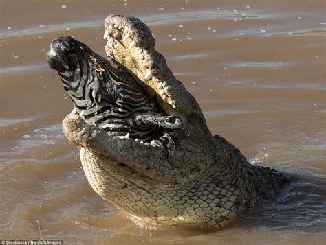 The Crocodile 2 zebra swallowed whole by a crocodile in kenya daily mail