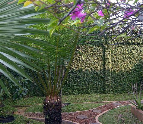 Pohon Dolar Rambat Daun Besar pohon rambat dolar alternatif penghias dinding oleh reca