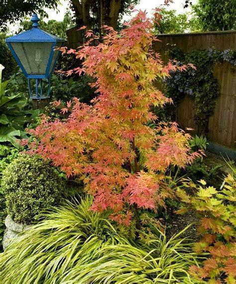 maple tree zone 6 orange japanese maple tree garden plants seeds japanese maple japanese