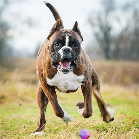 Do Boxer Dogs Shed large dogs that don t shed much