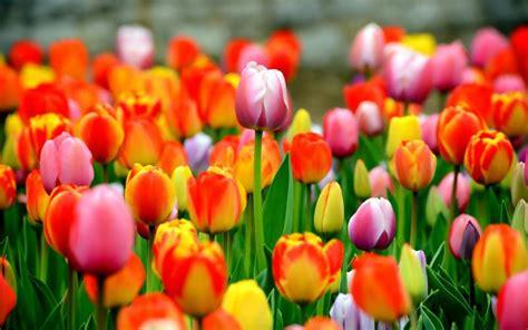 tulip flower facts springs richest flowers dahlia