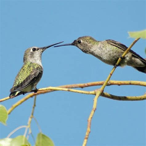 mating habits of hummingbirds hummingbird nesting habits hummingbirds
