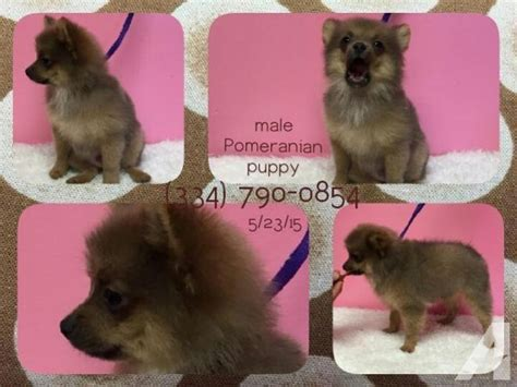 puppies for sale tallahassee ckc pomeranian puppies for sale in tallahassee florida classified americanlisted