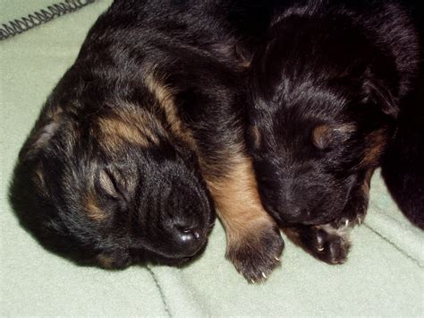 3 week german shepherd puppies german shepherd puppy guarantee breeds picture