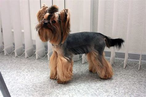 summer cuts for yorkie poos explore yorkie haircuts pictures and select the best style for your pet yorkie