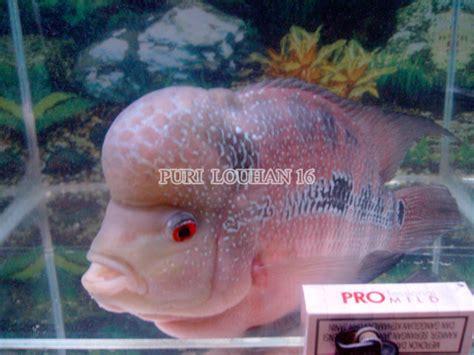 Burayak Ikan Lohan Louhan Gb 2 4cm louhan kepala mutiara ikan hias purwokerto