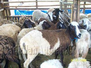 Aqiqah Kambing Jantan 10 kambing akikah perbedaan aqiqah dan qurban