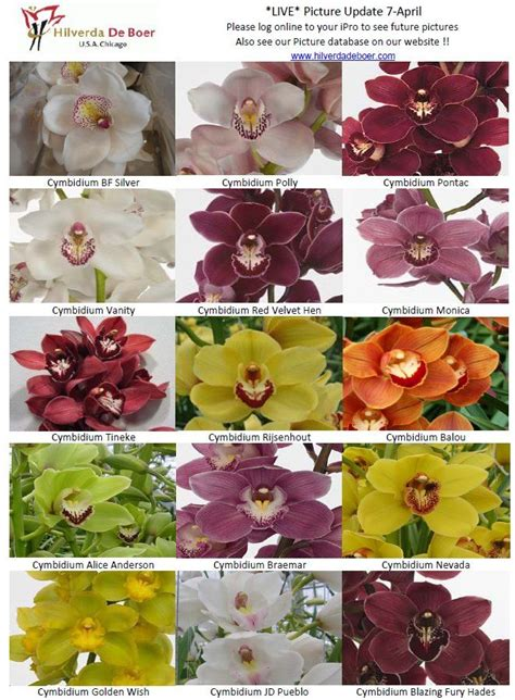 color orchids cymbidium orchids variety of colors this is the green