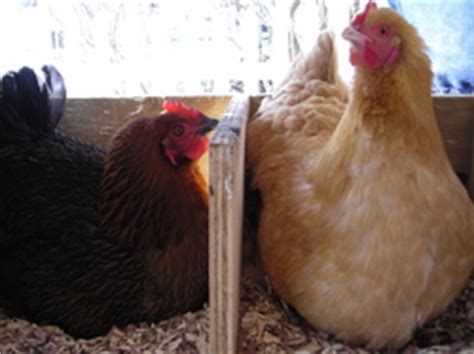 Backyard Chickens Zoning Backyard Chickens Make Our Easier The Real