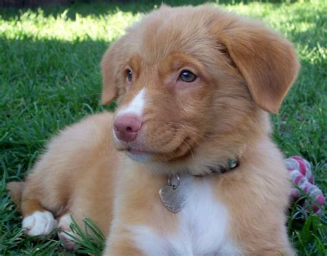 scotia duck tolling retriever puppies for sale price researchbreeder find scotia duck tolling retriever puppies for sale