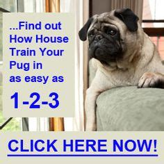 how to take care of pugs 1000 images about pug problems on pug behavior and a pug