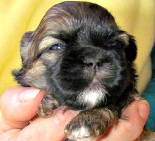 3 week shih tzu puppies overivew of puppy development