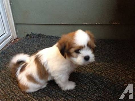 havanese oregon havanese lhasa apso mix puppies for sale in boring oregon classified